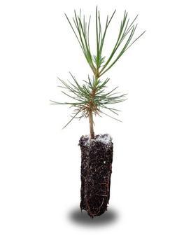 Ponderosa Pine Medium